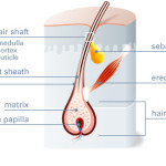 Hair 101 – Dermal Papilla