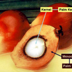 Difference between Palm Kernel Oil and Palm Oil