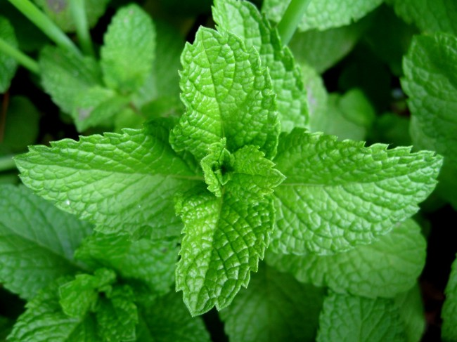 Mint Leaves Nigeria